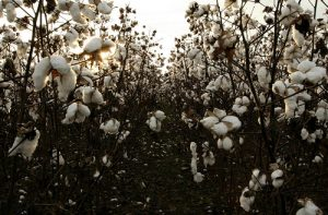 high-cotton